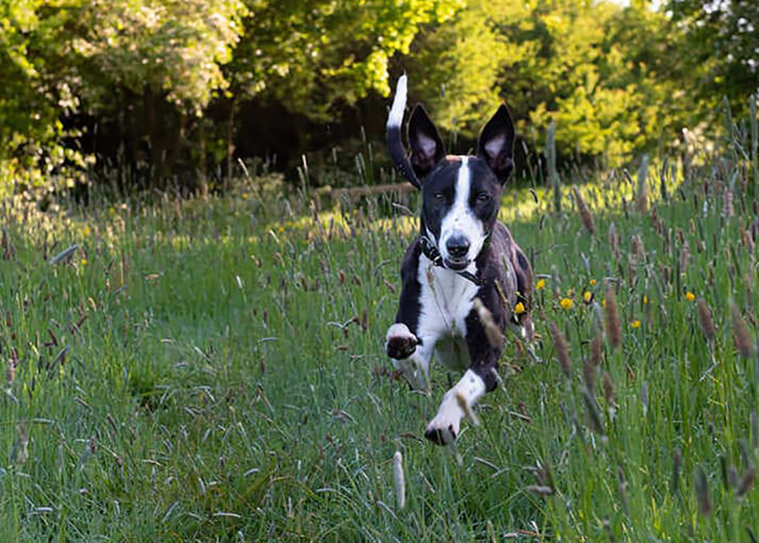 Sighthound running free in Londons open green spaces. https://k9exw.com
