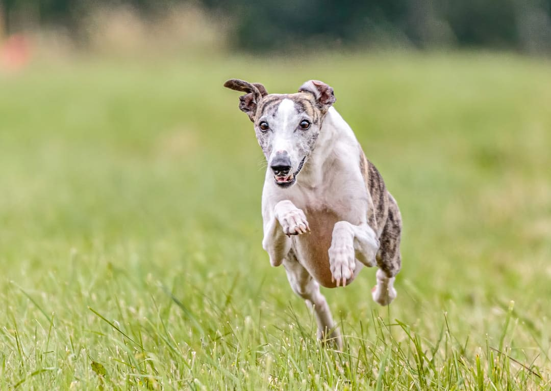 Lurcher running free in Londons open green spaces. https://k9exw.com