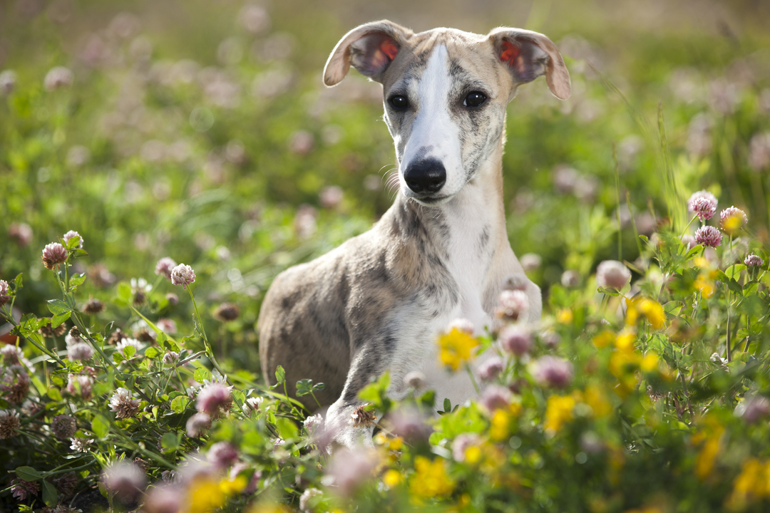 Cream and white Sighthound puppy sitting in a summer field. https://k9exw.com